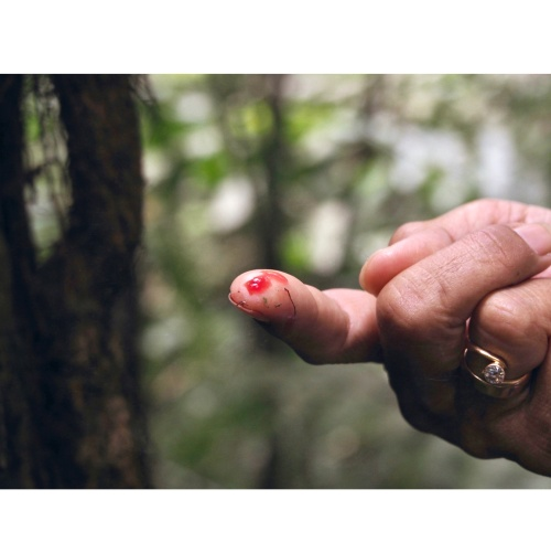 bleeding tree   from *Indonesia::living with the forest*